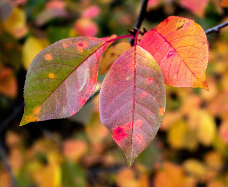 Chockcherry leaves color
